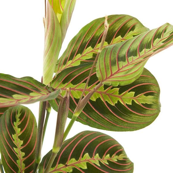 Maranta Leuconeura 'Fascinator Tricolor' - Prayer Plant - Houseplant 12cm Pot