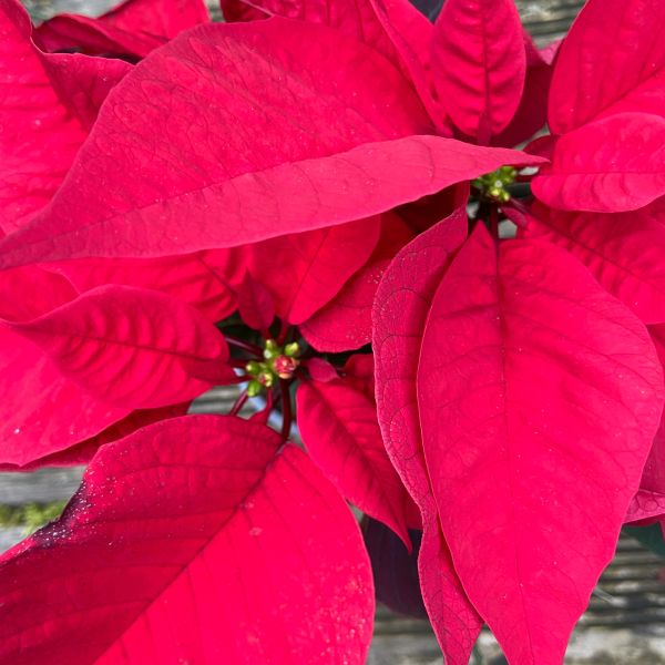 Red Poinsettia 12cm | Indoor Houseplant
