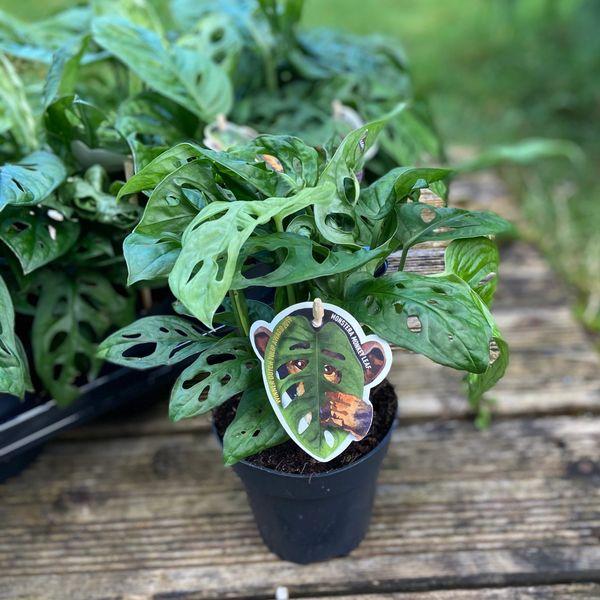 Monstera Adansonii (Monstera Monkey Leaf) 12cm Pot
