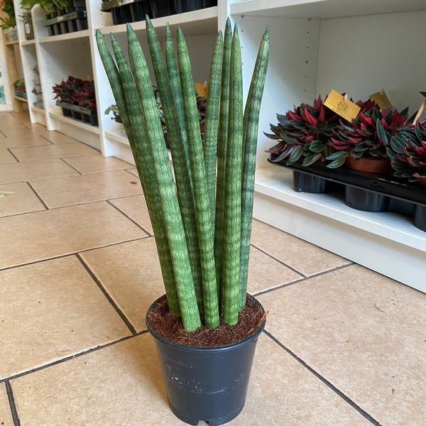Sansevieria Cylindrica (Snake Plant) 12cm Pot
