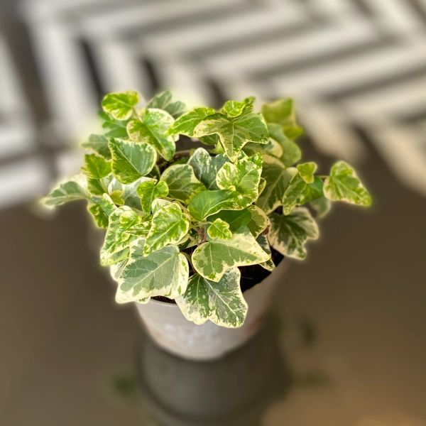 Mini Ivy (Hedera) in 8.5cm Pot