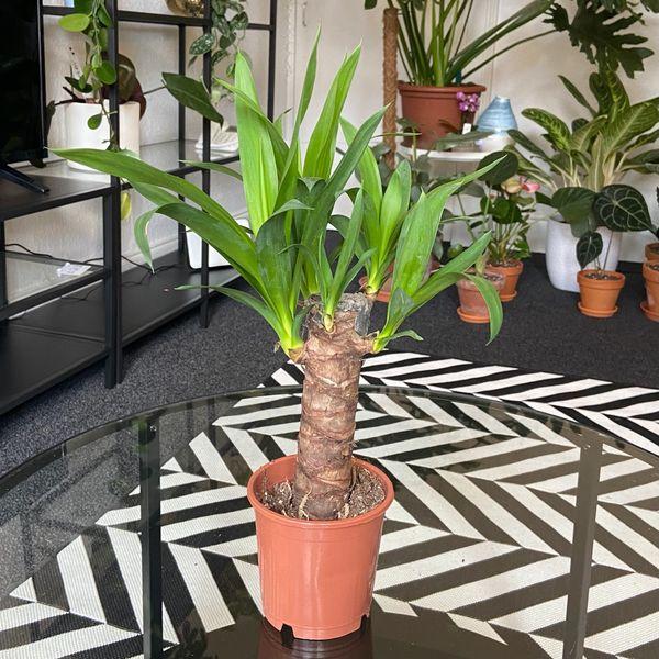 Yucca Elephantipes 10cm Pot