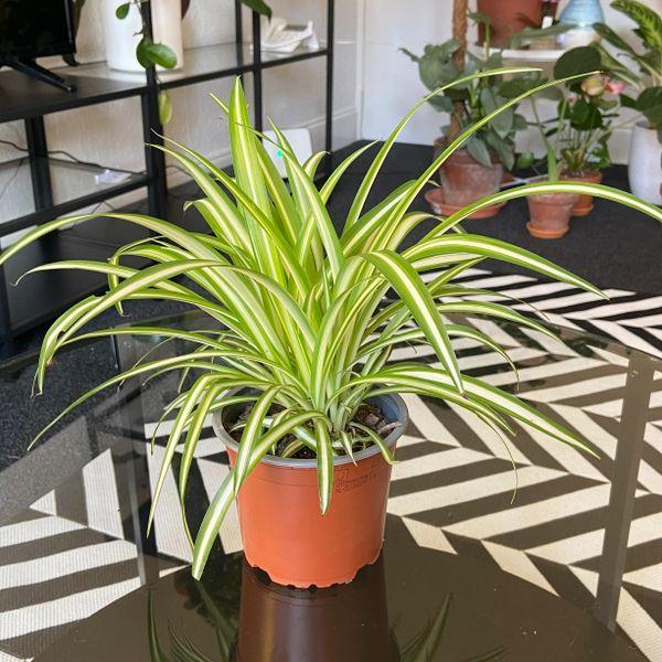 Chlorophytum 'Variegatum' (Spider plant) 12cm