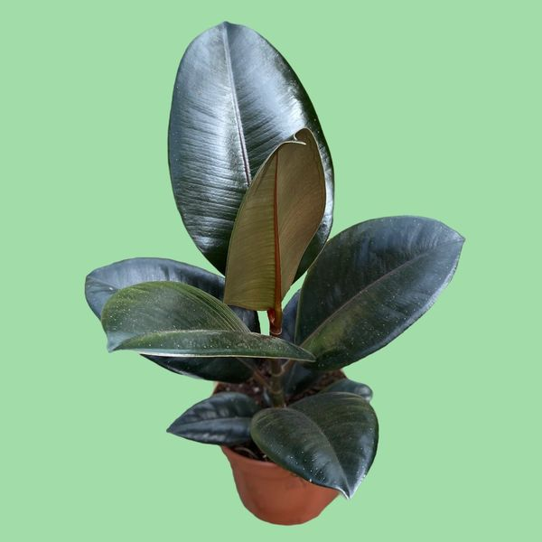 Ficus elastica Robusta - Rubber Plant 12cm Pot