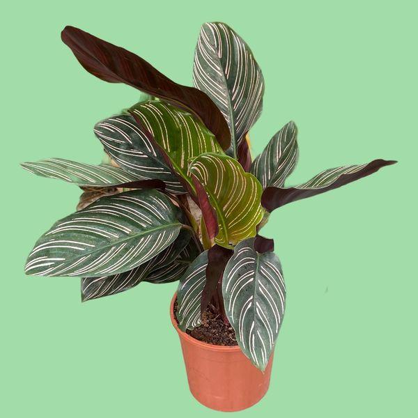 Calathea Ornata (Pinstripe) in 14cm Pot