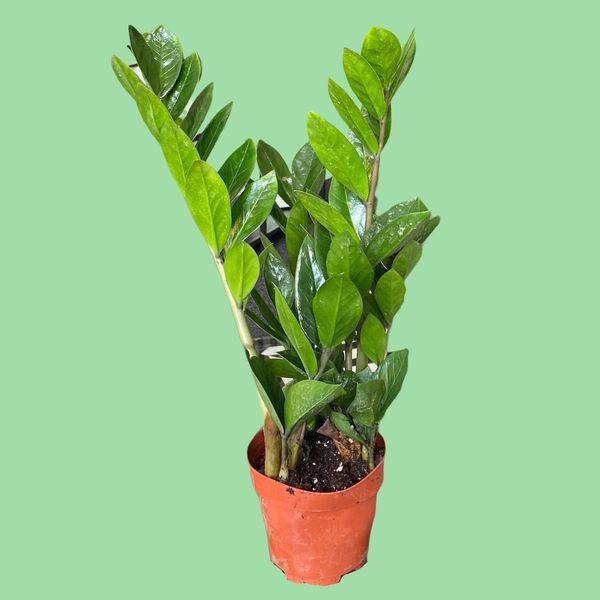 Zamioculcas Zamiifolia (ZZ Plant) in 12cm Pot