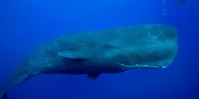 Sperm Whale, Dominca