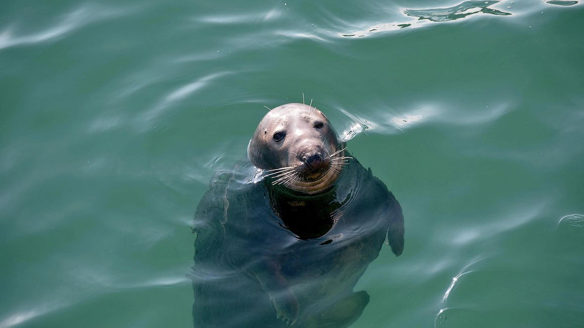 seal in the water at falmouth