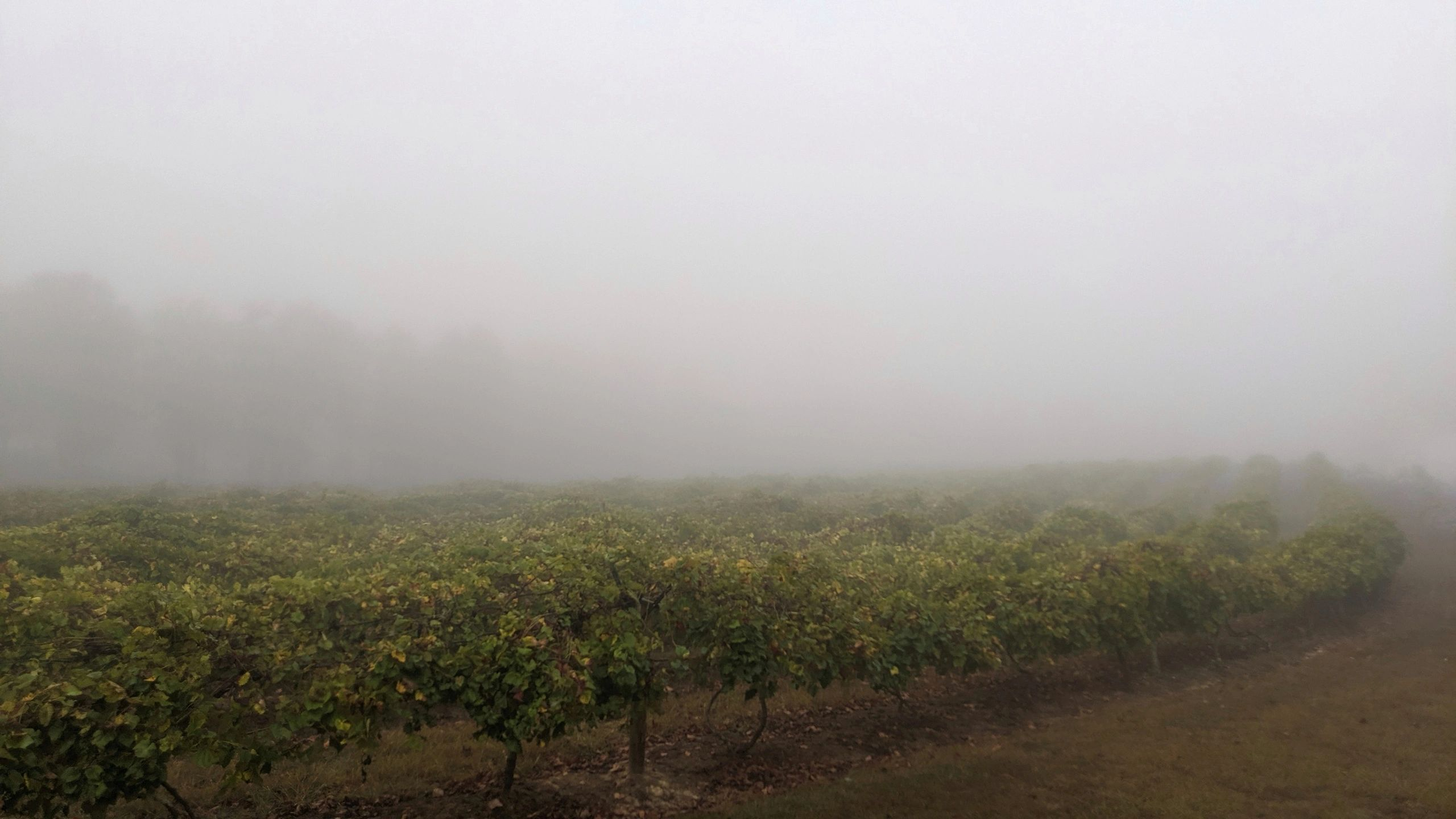 Byrd Cellars early morning fog over the vineyard