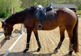 Bay mare, Nala, with full tack