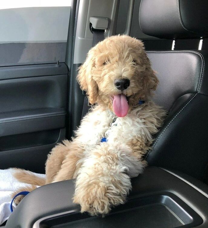 Goldendoodle, labradoodle, breeder, California, puppies, Health tested, available,