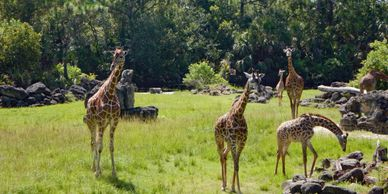 Five giraffes standing in their area of the Brevard Zoo.