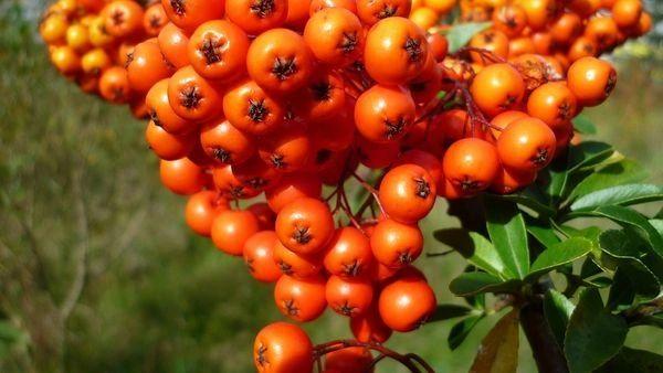 Awapuhi Seaberry