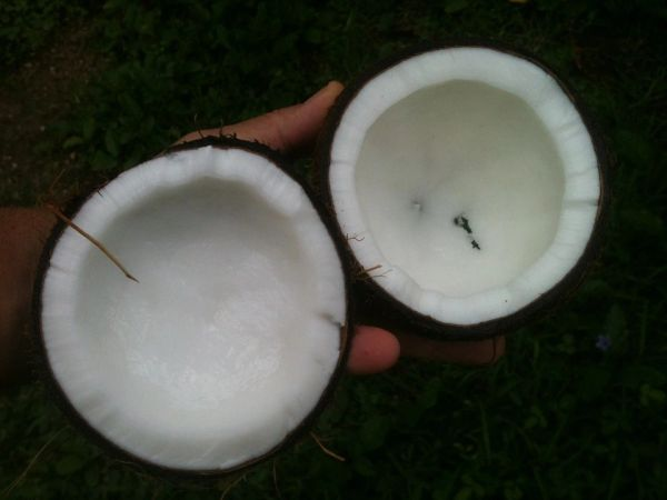Black Coconut (YC type)