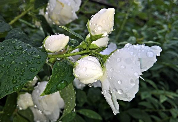 Jasmine Showers (compare to Lush Flying Fox)