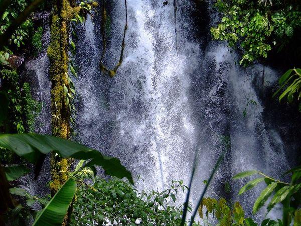 Rainforest Sugar Cane (BBW type)