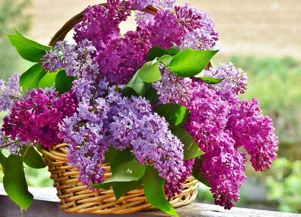 Raspberry Lilac