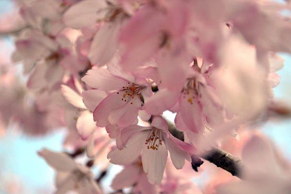 Sakkura (compare to Lush Sakura)