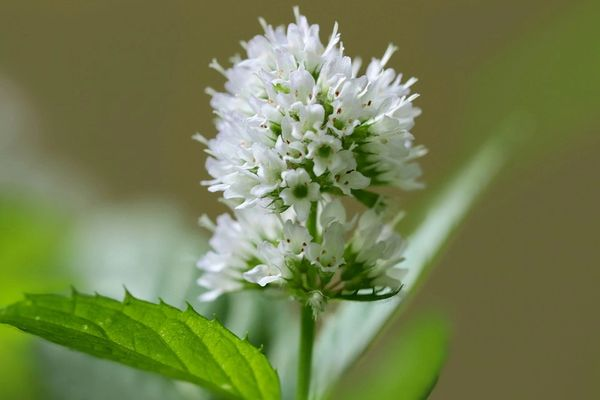 White Mint (LUSH Dr. Peppermint type)