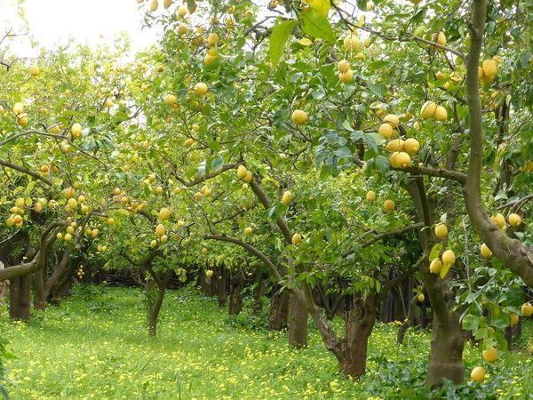 Underneath A Lemon Tree (compare to Maison Margiela Under The Lemon Tree) (PLTM)