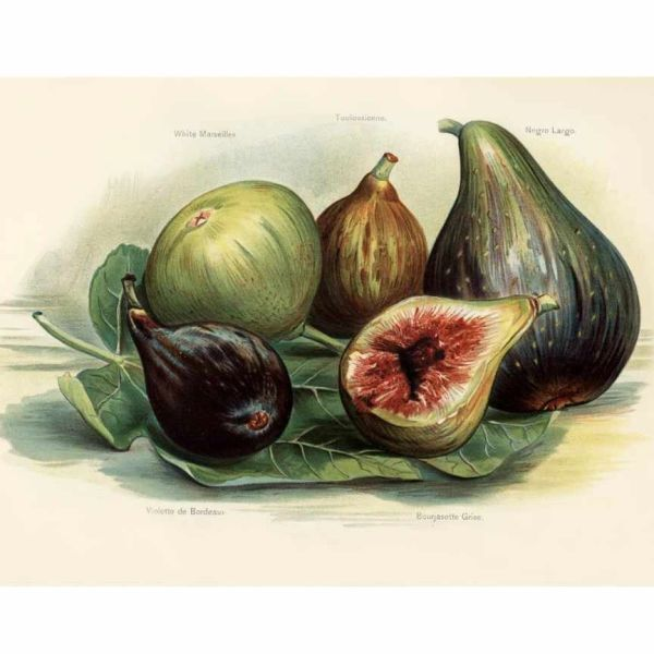 Wild Fig & Currant (compare to Jo Malone Wild Fig & Cassis)(PLTM)