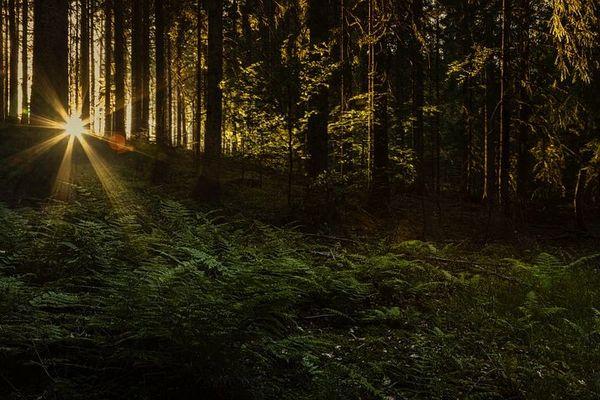 Black Forest Dawn (compare to Archipelago Black Forest) (PLTM)
