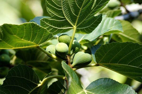 Fig Tree (compare to Diptyque Figuier) (PLTM)