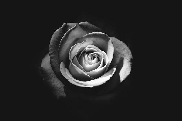 The Black Rose (compare to Byredo Rose Noir) (PLTM)