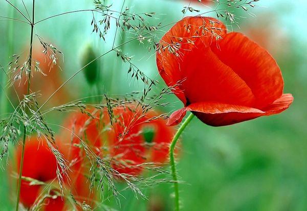 Wild Poppies (compare to Nest New York Wild Poppy) (PLTM)