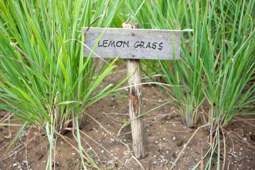Lemongrass (compare to Archipelago Lemongrass) (PLTM)