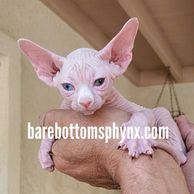Beautiful odd eyed sphynx Male lots of wrinkles a very healthy big boy available for reservation