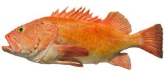 新鲜捕捞野生红石斑鱼一条(每磅$2.99,按磅,多退少补)