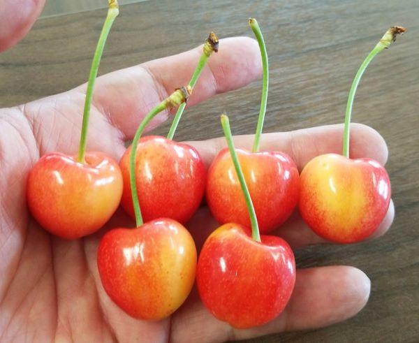Pro_Rainier Cherry 华盛顿甜脆超大黄樱桃