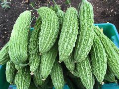 Local bitter melon 2lbs 本地农场招牌苦瓜2.2磅