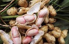 GRAIN_Fresh Peanuts 【最新丰收】加州新鲜花生2磅袋