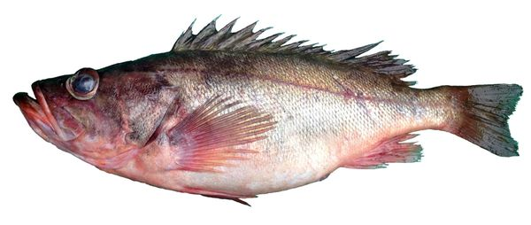 Fresh rockfish新鲜捕捞野生石斑鱼