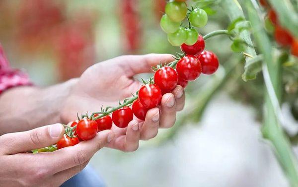 Local Cherry Tomatoes 本地樱桃小西红柿