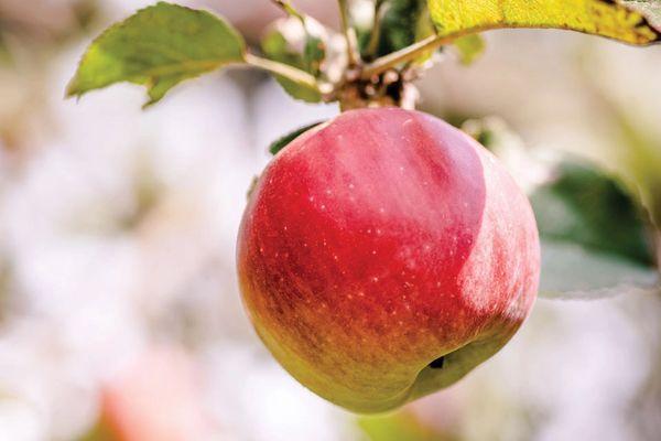 Pro.o_Local Ambrocia Apples 【刚刚丰收】本地特级无蜡安培士苹果