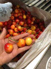 Fresh Rainier Cherries 8.8 lbs box 华盛顿出口品质黄樱桃8.8磅礼品箱