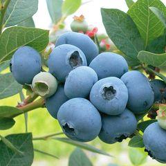 本地农场蜜香甜蓝莓3磅