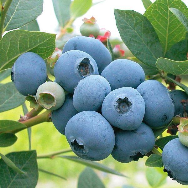 Local Blueberry本地新鲜蓝莓(超大超甜)