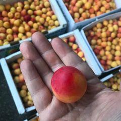 Local cherry Plum 本地野生树熟樱桃李子