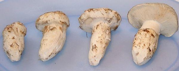 No.2/3Pine Mushroom 本地精选2/3级松茸 (满5磅送龙岗帝皇鸡一只)