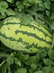 本地农家自种花皮西瓜1颗(每颗约17磅)