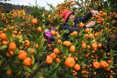Nanfeng honey Mandarin【清甜无渣】新鲜南丰貢桔
