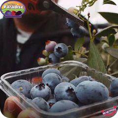 Super Jumbo Blueberry 空运特大甜脆蓝莓
