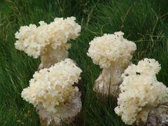 Fresh Califlower Mushroom 空运新鲜绣球菌2.2磅盒