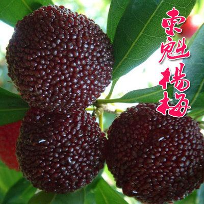 Sweet Bayberry 【空运新到】云南东魁特大甜杨梅500克盒