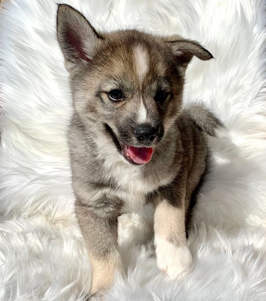 Puppys N Love High-Quality Pomsky, Pomskies, Puppy, Puppies, Pomsky Puppies