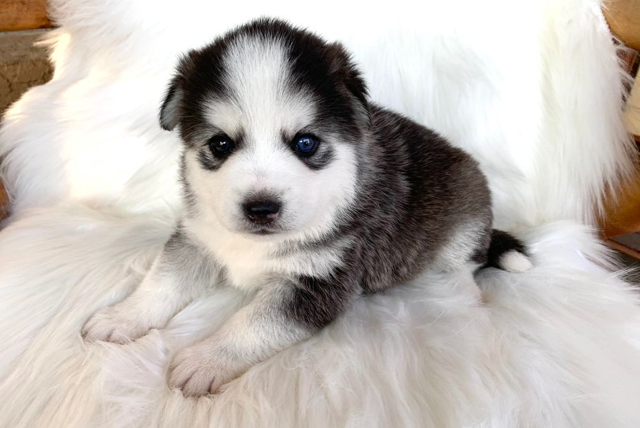 Puppys N Love High-Quality Pomsky, Pomskies, puppy, Puppies